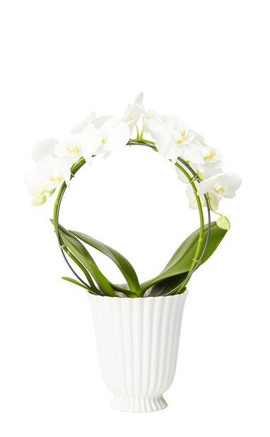 Brudeorkidé på bue, hvit