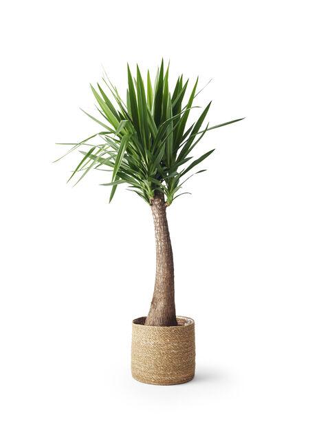 Yuccapalme, flaskeformet, stor