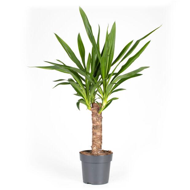 Yuccapalme, Høyde 60 cm, Grønn