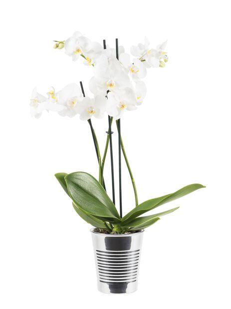 Brudeorkidé med +20 blomster, hvit