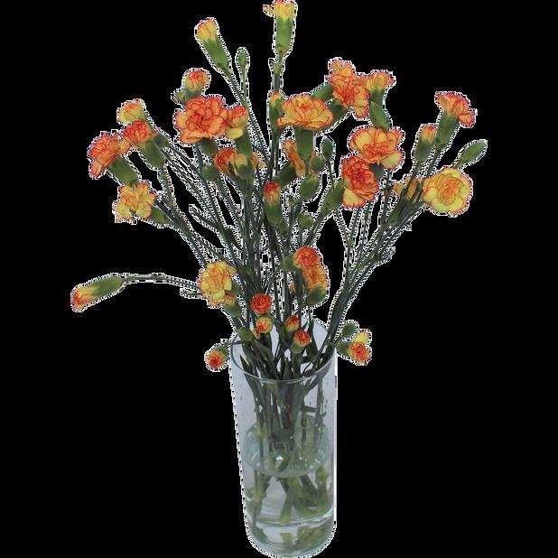 Gren nellik, Høyde 40 cm, Flere farger