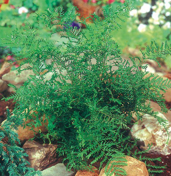 Ormetelg, Høyde 15 cm, Grønn
