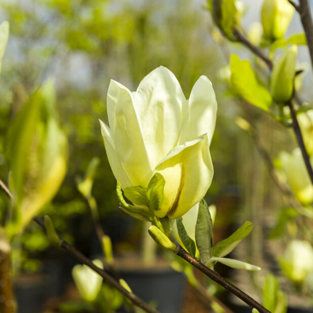 Magnolia 'Yellow Bird', Høyde 80-100 cm, Gul