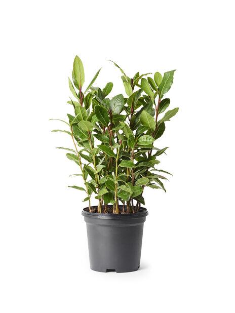 Laurbær, Ø10.5 cm, Grønn