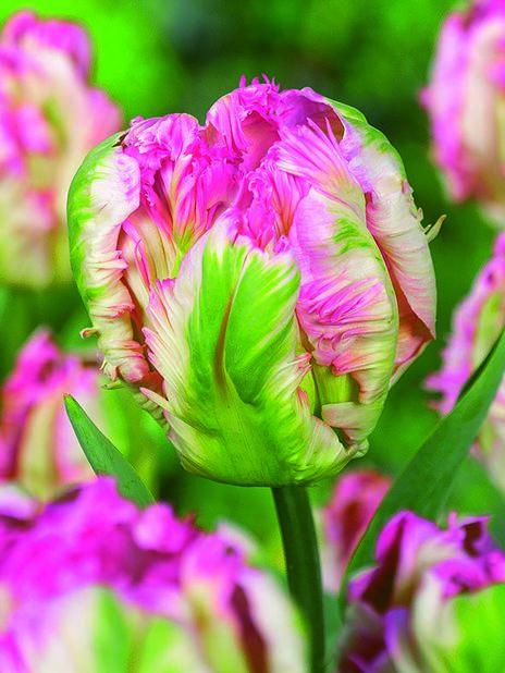 Papegøyetulipan 'Pink Vision', Rosa