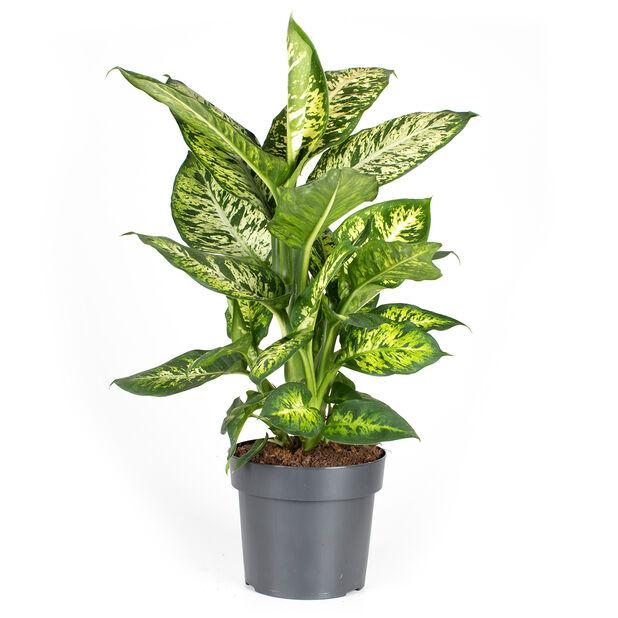 Dieffenbachia 'Sublime' , Høyde 100 cm, Grønn