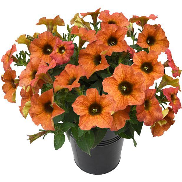 Superpetunia 'Beautical', Ø12 cm, Flere farger