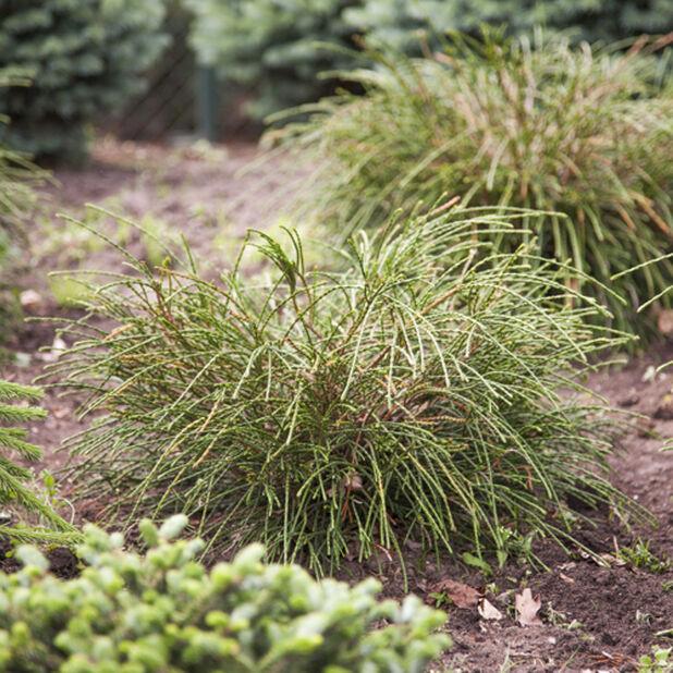 Tuja 'Wipcord', Høyde 30 cm, Grønn