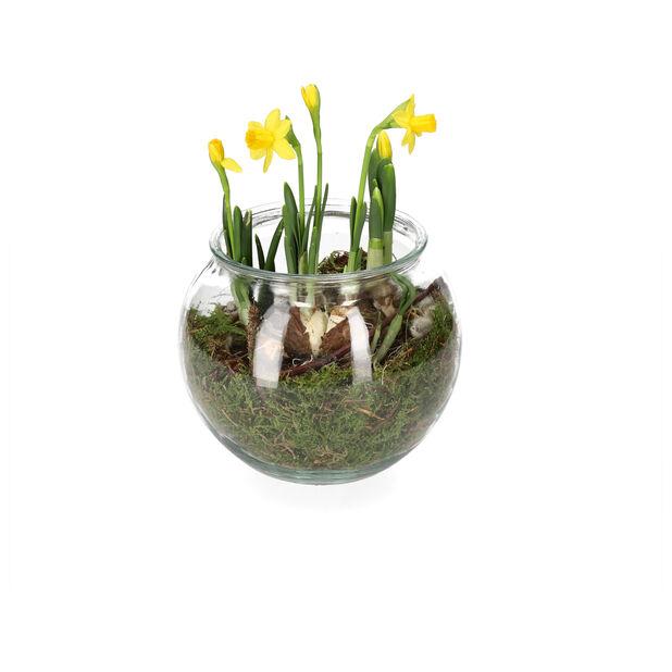 Påskegruppe påskelilje, Høyde 15 cm, Gul