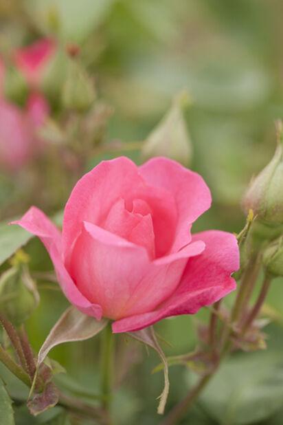 Rose 'Melrose', Høyde 20 cm, Rosa