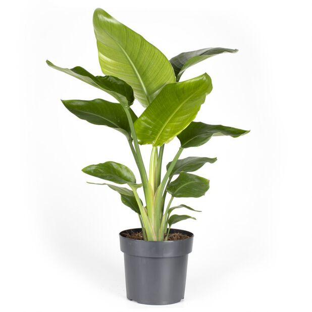 Strelitzia nicolai, Høyde 85 cm, Flerfarget
