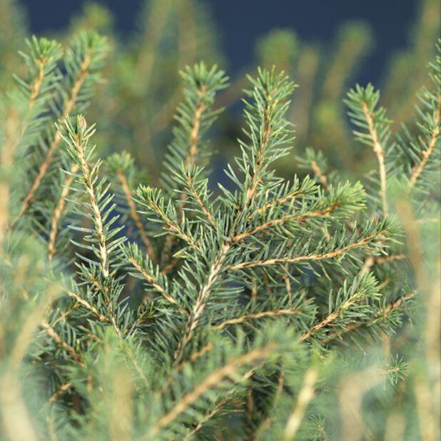 Serbergran 'Karel', Høyde 20 cm, Grønn