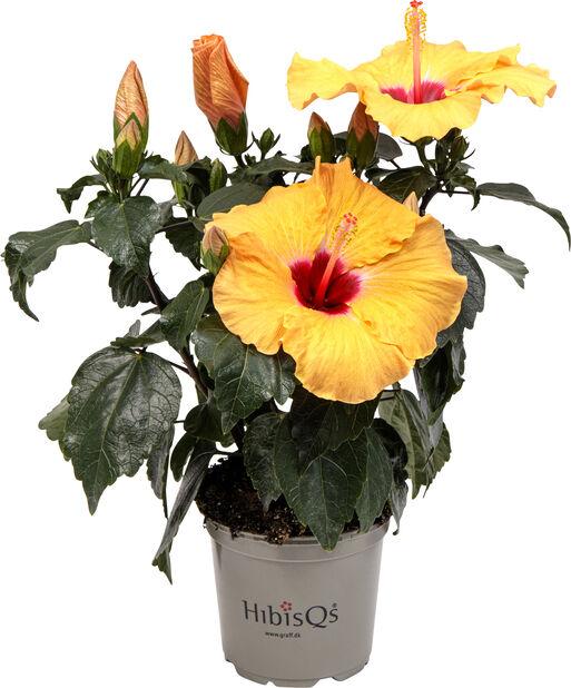Hawaiirose 'Petit Orange', Høyde 30 cm, Oransje