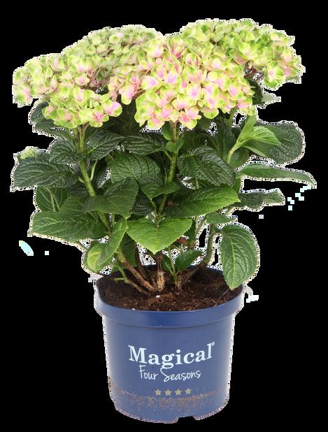 Hagehortensia Magical, Høyde 48 cm, Flerfarget