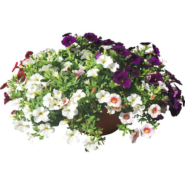 Petunia i skål, Ø23 cm, Flerfarget