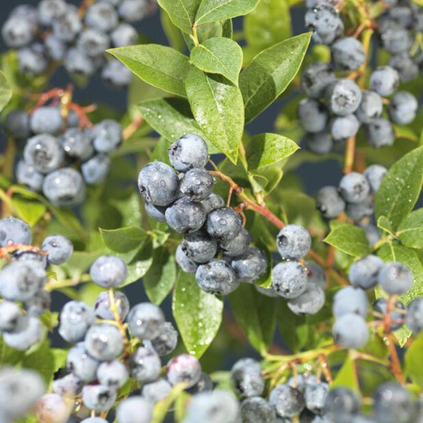 Amerikansk blåbær 'Blue Crop', Høyde 60 cm, Blå