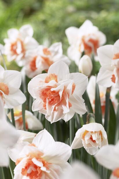 Narcissus 'Replete', Flere farger