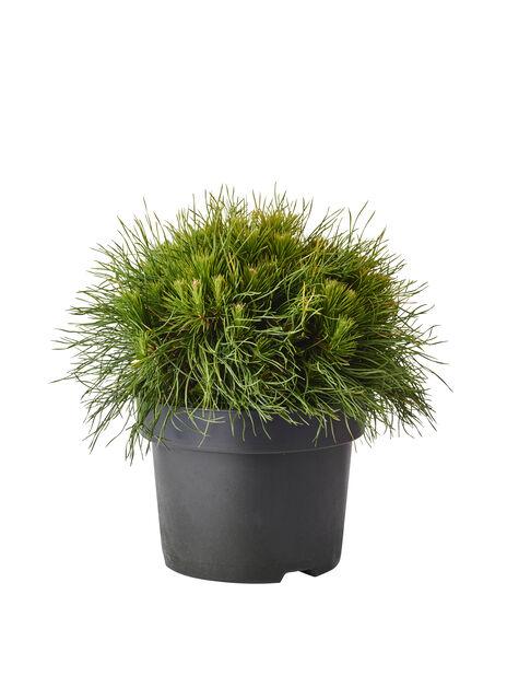 Buskfuru 'Varella', Høyde 30 cm, Grønn
