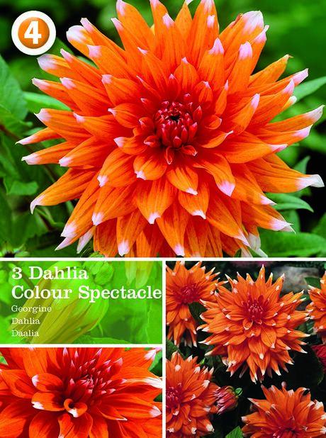 Dahlia Cactus 'Colour Spectacle', Oransje