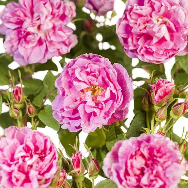 Rose 'Therese Bugnet', Høyde 20 cm, Rosa