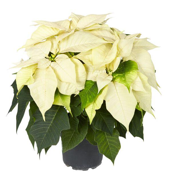 Julestjerne flergrenet, Høyde 40 cm, Hvit