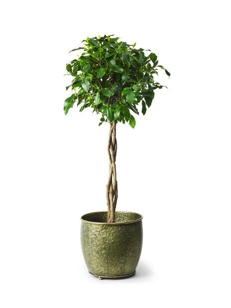 Bjørkefiken, Høyde 90 cm, Grønn