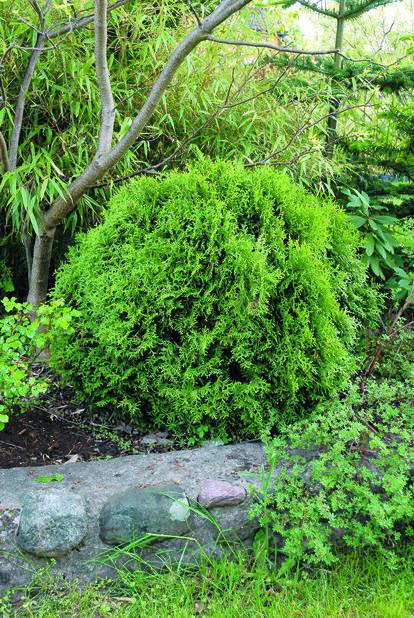 Kuletuja, Høyde 40 cm, Grønn