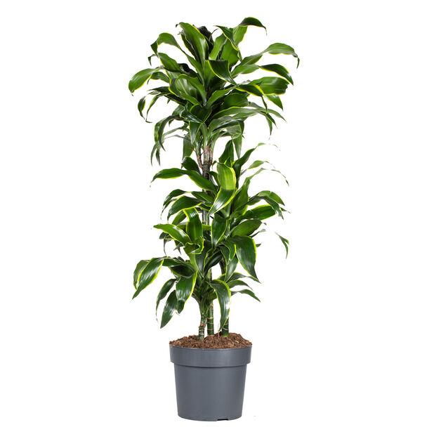 Dracaena 'Dorado', Høyde 100 cm, Grønn