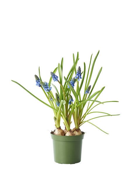 Perleblomst, Ø9 cm, Blå