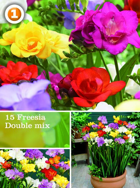 Vårløk Miscellaneous  Freesia double mix