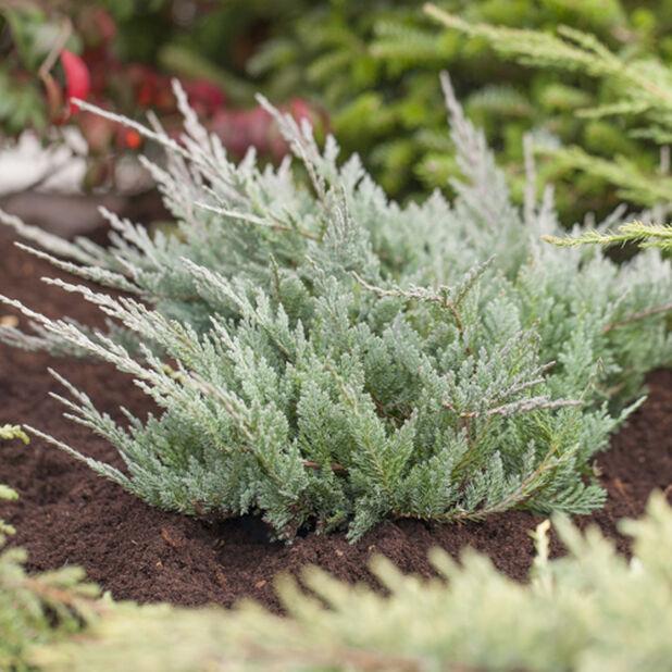 Krypeiner 'Blue Chip', Høyde 25-30 cm, Grønn
