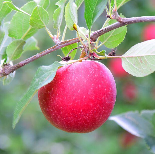 Eple 'Rødhette', Høyde 160 cm, Rød