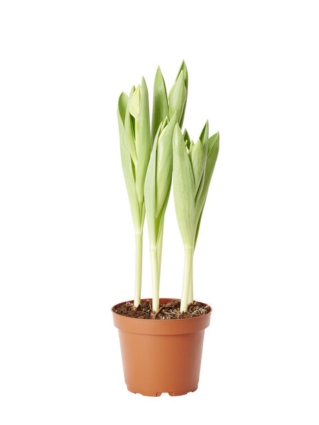 Tulipan  'Outbreak ', Ø12 cm, Flerfarget