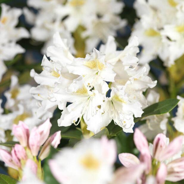 Parkrododendron 'Cunninghams White', Ø23 cm, Hvit