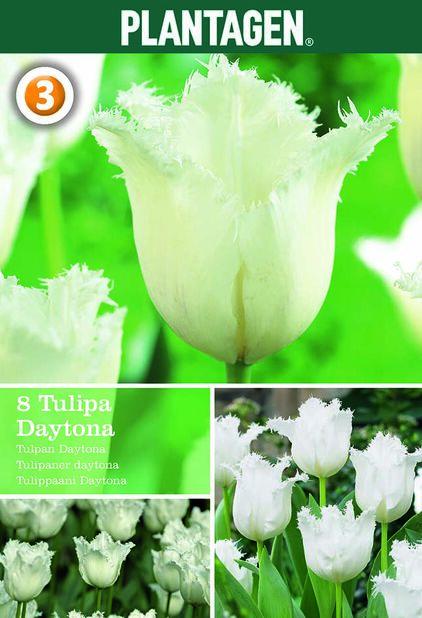 Tulipan 'Daytona', Hvit