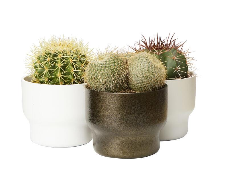 Kaktus miks, Høyde 25 cm, Grønn