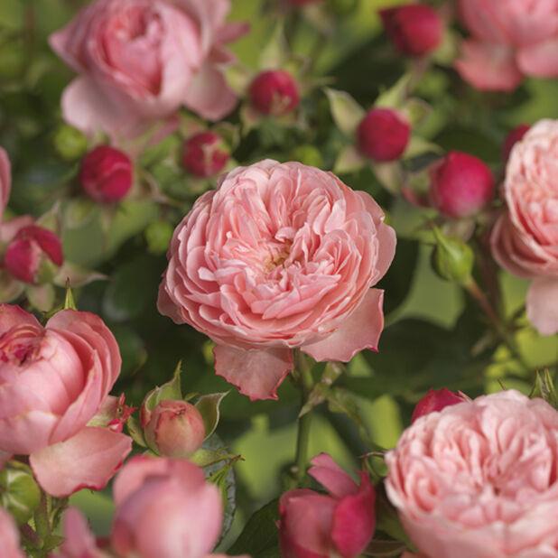 Rosa Meilove Pink 4L