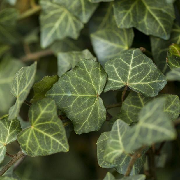 Eføy, Høyde 110 cm, Grønn