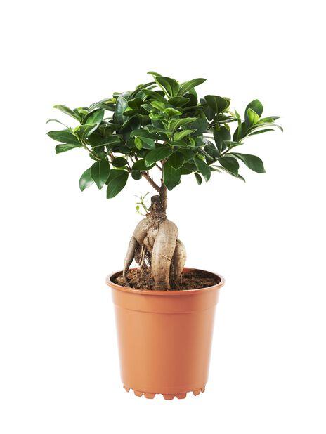Bonsaifiken 17 cm