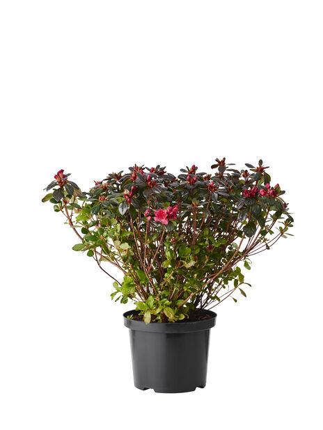 Rododendron 'Johanna', Ø23 cm, Rød