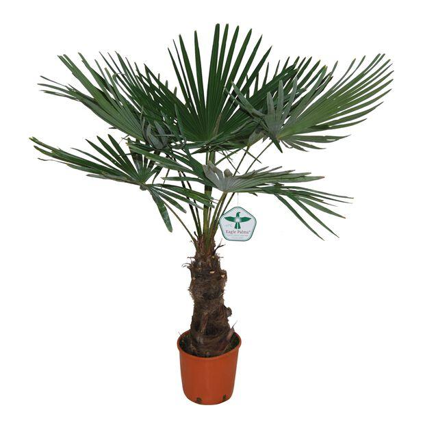 Vindmøllepalme, Høyde 100-140 cm, Grønn