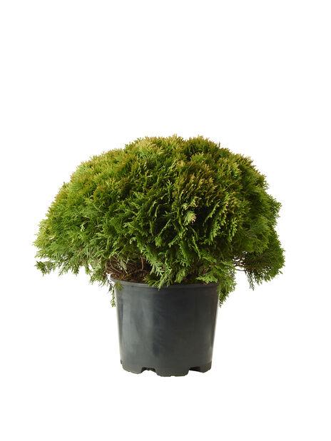 Tuja 'Danica', Ø70 cm, Grønn