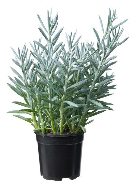 Senecio , Høyde 50 cm, Grønn
