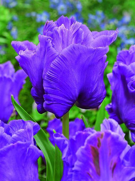 Tulipan 'Blue Parrot'