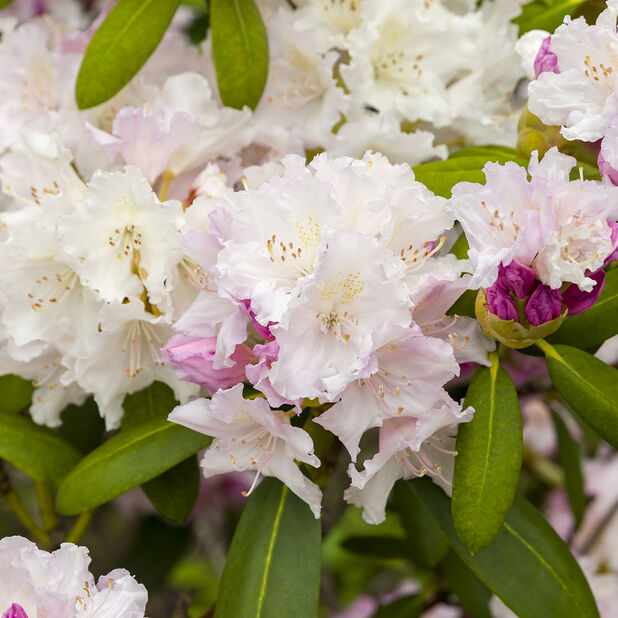 Rododendron 'Schneekrone', Ø23 cm, Hvit