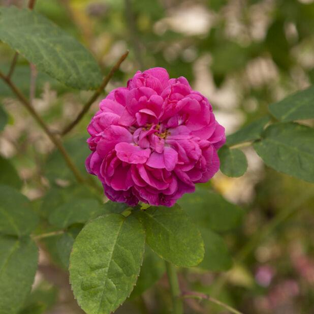 Buskrose 'Rose de Rescht' , Høyde 20 cm, Rød