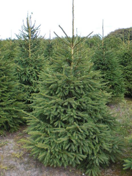 Topp Juletre 200-2 Høyde 250 cm Grønn | Plantasjen HH-02