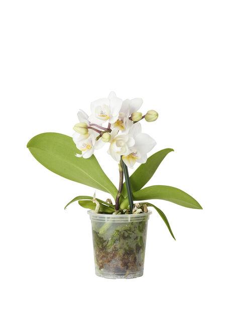 Mini-brudeorkidé, hvit