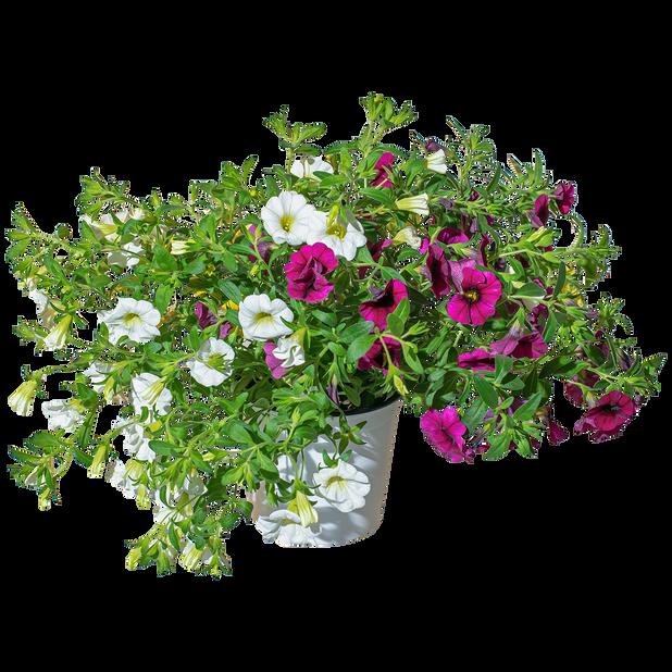 Surfinia småblomstret romantic garden
