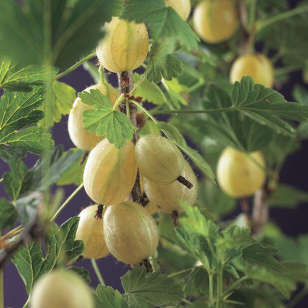 Ribes grossularia 'Hinnonmäki Yellow', Høyde 50 cm, Grønn